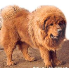 I love big dogs!  Tibetan Mastiff