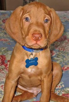 hungarian vizsla. I don't have one, but what a cute puppy!