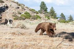 Scaredy bear!: Hilarious moment a cowardly bear is caught running from a dog