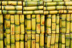 Caliche Rum    For the uninitiated, this is what raw sugarcane looks like. Curious as to why 80% of the world's rum sources come from Puerto Rico? You're looking right at it.