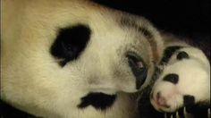 Presentación de la cría de oso panda del Zoo Aquarium de Madrid #panda #pandas #madrid #pandasmadrid