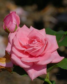 Pink and red are the most common colors for roses