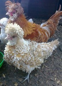 I love Frizzle Polish Bantams! We have one right now. Her name is 'Ms Frizzle'. She has the cutest chicken butt.