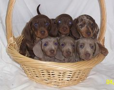 Mini-Dachshund Puppies, a basket full of Love ♥ Mini Dachshund, Dachshund Puppies, Cute Puppies, Cute Dogs, Dogs And Puppies, Daschund, Newborn Puppies, Dachshund Gifts, Baby Animals