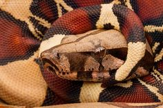 Red-Tailed Boa, Boa constrictor constrictor, juvenile