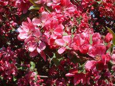 Декоративная яблоня флорибунда (Malus floribunda)