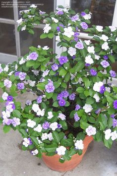 Brunfelsia latifolia - Yesterday, today, and tomorrow plant. Starts out blue, then changes to lavender, and white.