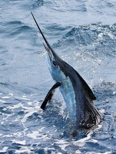 In terms of highest release totals, head for the Los Sueños Signature Triple Crown or the Offshore World Championship, both of which are held on the Pacific side of Costa Rica.