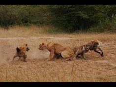 Lion vs Hyena attack,Lion Alone! Documentary