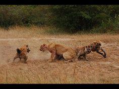 Lion vs Hyena attack,Lion Alone! Documentary