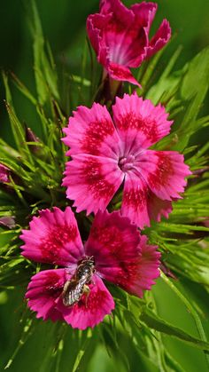 Chinese pink dianthus , companion plant for pink knockout roses, 12 to 18 inches