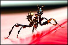 exotic praying mantis | ... L3 X 5 (idolomantis diabolica) giant devil flower live praying mantis