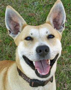 OMG!! This one looks like my girl!!! Carolina Dog/American Dingo <3<3<3