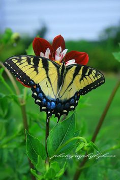 Tiger Swallowtail, I had some this year on my Butterfly Bush Beautiful. Butterfly Kisses, Butterfly Flowers, Butterfly Wings, Butterfly Bush, Beautiful Bugs, Beautiful Butterflies, Flying Flowers, Moth Caterpillar, Butterfly Pictures