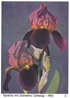 Burning Bronze   Historic Iris Preservation Society
