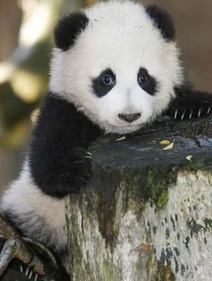 Four-month-old giant panda cub Zhen Zhen peers over a tree stump in her enclosure at the San Diego Zoo.