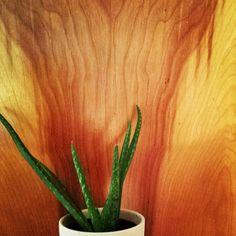Fresh new aloe plant #myherbalstudies