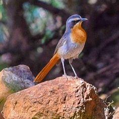 #CapeRobin #JanFrederik #bird #birdphotography #birding in #Bloemfontein #SouthAfrica