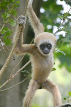 This baby Lar Gibbon named Sholo goes solo at Drusillas Park, swinging in the trees, under mom's watchful eye.