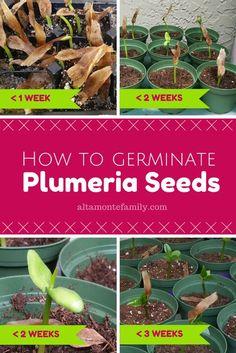 How To Germinate Plumeria Seeds   altamontefamily.com