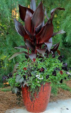 'Australia' canna (Canna 'Australia', Zones 8–11) 'Choca Mocha' chocolate cosmos (Cosmos atrosanguineus 'Choca Mocha', annual) 'Obsidian' heuchera (Heuchera 'Obsidian', Zones 3–8) 'Black Velvet' petunia (Petunia 'Black Velvet', annual) 'Midnight Sun' moneywort (Lysimachia 'Midnight Sun', Zones 4–10) 'Night Ruler' bearded iris (Iris 'Night Ruler', Zones 3–9) Romeo™ fan flower (Scaevola 'Romeo', annual)