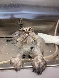 Grumpy cat, laughing, and laugh: go ahead and laugh happy souls taste better Funny Animal Pictures, Funny Animals, Cute Animals, Hilarious Pictures, Funny Photos, Funny Images, Time Pictures, Animal Pics, Comedy Pictures