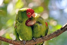 The pair of brightly coloured  African lovebirds were spotted cuddling up to each other by...