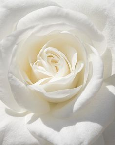 White rose of purity Love Rose, My Flower, Pretty Flowers, White Flowers, Birth Flower, Art Flowers, Spiritual Love, White Aesthetic, Shades Of White