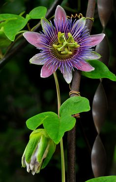Passionflower vine One of the most beautiful climbing vines