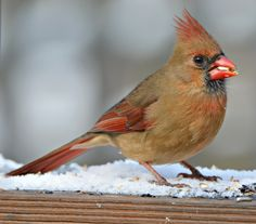 Northern Cardinal (female): 27 January 2015, Falls Church, VA (our yard), 12:10 p.m., 29 degrees, partly sunny, 1 inch snow cover