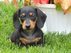 cute miniature #dachshund puppy More