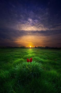 "You and I - by Phil Koch (""A pair of tulips watch the sun rise over Wisconsin."")"