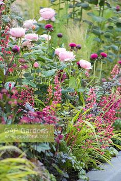---ispirazione---Planting combination of Rosa 'Queen of Sweden', Heuchera, Hakonechloa macra and Cirsium. Positively Stoke-on-Trent.
