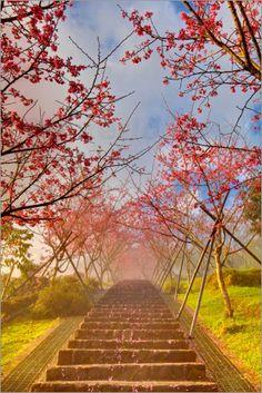 cherry blossom, #Taiwan
