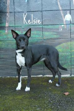 Kelsie is a one year old female kelpie mix. Kelsie is super friendly and would make a great walking/jogging companion. Kelsie would do best in a home without critters that she could chase but she does get along with other dogs (although a meet and...