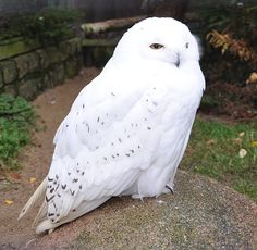 Male Snowy Owl, also known in North America as the Arctic Owl, Great White Owl, Icelandic Snow Owl, or Harfang