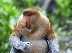 uzun-burunlu-maymun.