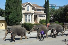 San Jose, California. 2014.  Imagine looking out your front window and seeing a parade of elephants walk by!  The Ringling Bros. Circus elephants.  I was there at the arena to protest the use of these wonderful creatures.  Their abuse.  Their torture.  I invite you to learn more about how the circus trains these elephants.