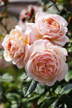 English Roses A Shropshire lad rose (David Austin) - Considering this climber for next year Roses David Austin, David Austin Rosen, Romantic Roses, Beautiful Roses, Beautiful Gardens, All Flowers, Pretty Flowers, Wedding Flowers, Shropshire Lad Rose