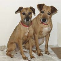 Kit and Kat are sweet, shy sisters who were picked up by animal control a year ago.  They were extremely frightened and malnourished, and Kat had to be treated for heartworms.   They must have been in a home when they were young, because their tails had been docked.  They have slender bodies and long graceful legs. More recently they have been moved into a foster home and are doing GREAT! 3 yrs old; 11/17; hw -; Kit 22lbs; Kat 12lbs; rat terrier/greyhound mix