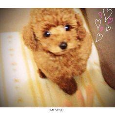 """まだかなぁ…。. * ただいまぁ〜🎵 帰って来て ゲージから出すと いつも """"じっ…。""""と 見つめる ここあ👀 帰って来るの遅い‼︎って 言いたいのかなぁ😅 * * #トイプードル#愛犬 #トイプードル大好き #いやしわんこ#元気 #かわいい#家族#犬 #遅い#パテラ#膝頭骨脱臼 #toypoodle#poodle#sleepy #love#dog#family#friend #cute#pretty#sweet #토이푸들#귀여워요#멍멍이#가족"""
