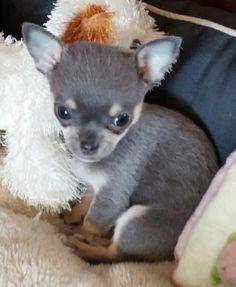 Blue tri colour chihuahua