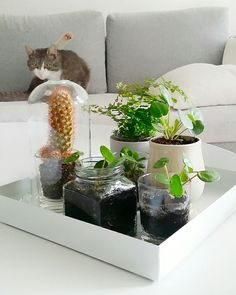 Pilea - plants - greens