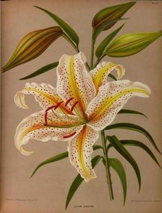 Lilium.  Illustrations taken from 'Album van Eeden' (Haarlem's Flora) by A.C. van Eeden & Co.  Published 1872 by de Erven Loosjes.  Missouri Botanical Garden.