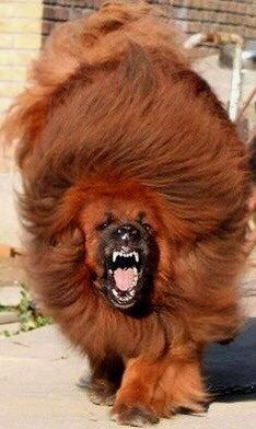 """animeasuka: """" taiomifox: """" This is a 5 month old Tibetan Mastiff. This is a 5 month old Tibetan Mastiff. This is a 5 month old Tibetan Mastiff. This is a 5 month old Tibetan Mastiff. Tibetan Mastiff Attack, Red Tibetan Mastiff, Giant Dog Breeds, Giant Dogs, Huge Dogs, I Love Dogs, Dogue Du Tibet, Pet Dogs, Dogs And Puppies"""