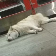 48 Best White Female Siberian Huskies Us Lost Dog