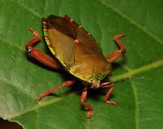 Tessaratomid Giant Shield Bug