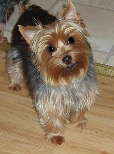 What Fruits Amp Vegetables Can Yorkies Eat Pets Yorkie