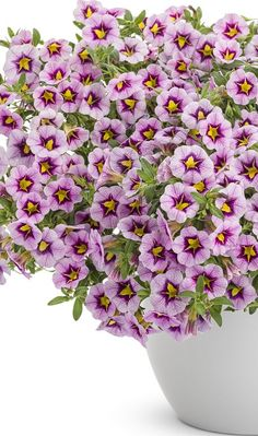 Wake up to Superbells Morning Star. Soft lilac blooms with unique yellow stars surrounded by dark purple. A one pot wonder of color. Purple Blush, Purple Rain, Dark Purple, Lilac, One Pot Wonders, Purple Plants, Garden Arbor, Flowering Shrubs, Morning Star