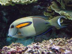 Acanthurus olivaceus - Orangeband Surgeonfish 一字吊, adult